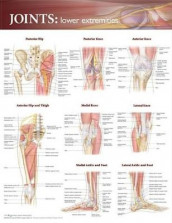 Joints of the Lower Extremities Anatomical Chart (Veggplansje)