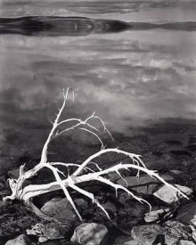 White Branches, Mono Lake, California, 1947 av Ansel Adams (Plakat)
